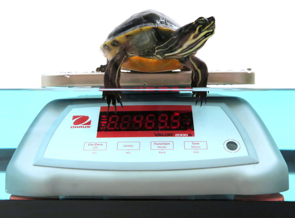 Weighing a turtle on a semi-submerged scale